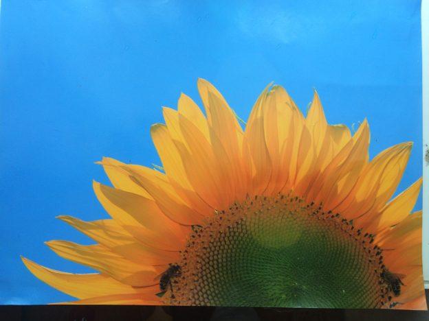 halbe-Sonnenblume